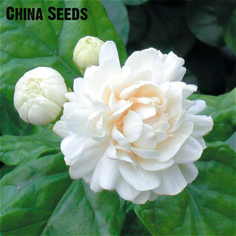 Online Buy Wholesale white jasmine plant from China white jasmine