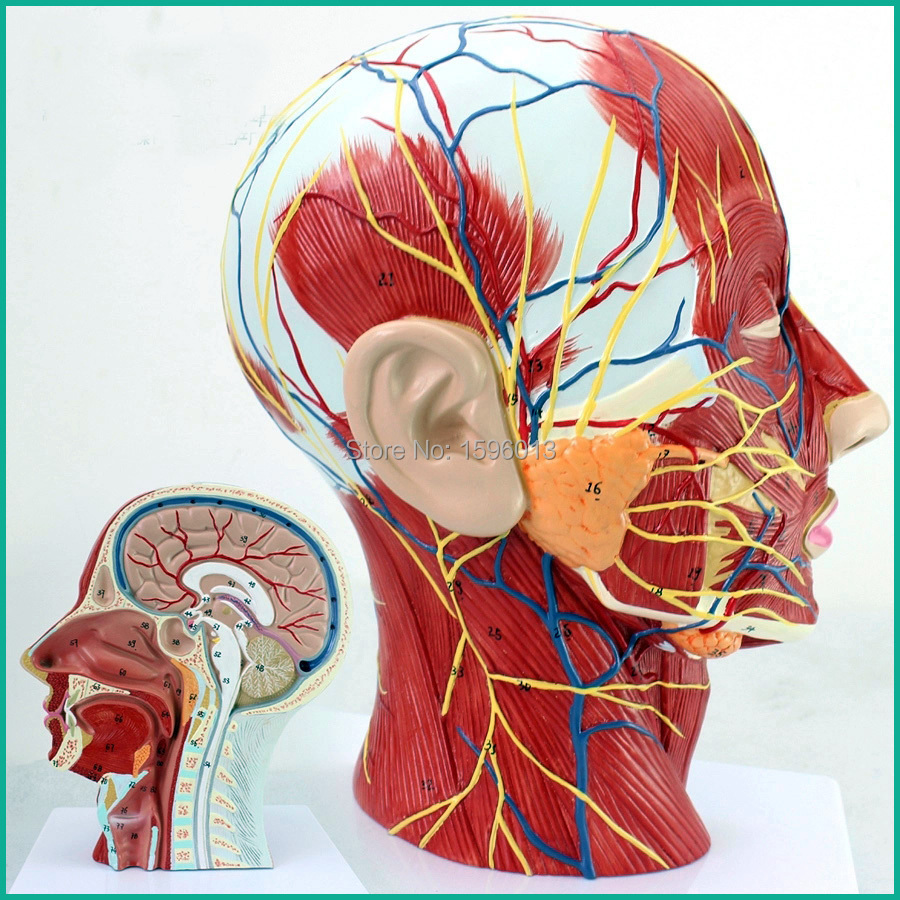 Economic Half Head with Vessels Model, Anatomical Head Model with Brain,Nerves,Vascular Muscles and Vessels economic half head with vessels model anatomical head model with brain nerves vascular muscles and vessels