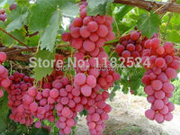 Free Shipping 100+ FRESH Red Globe Grape Fruit Seeds