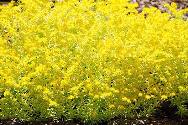 200pcs/bag Gold moss Sedum GOLDEN ACRE SEDUM STONECROP GOLD MOSS Groundcover Flower Seeds plant pot for home garden