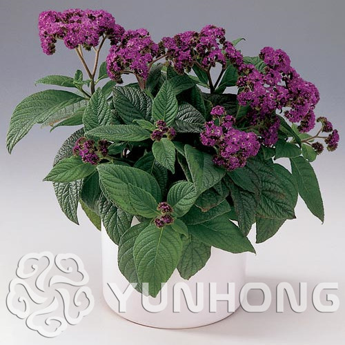 Cherry Pie Heliotropium Arborescens Bonsai 100pcs marine Flower Bonsai Free Shipping Attractive Appearance Highly Fragrant Plant Flower Plant