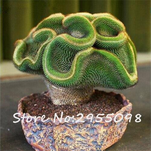 100 pcs bag rare cactus seeds potted succulent perennial indoor plant seeds bonsai cacti