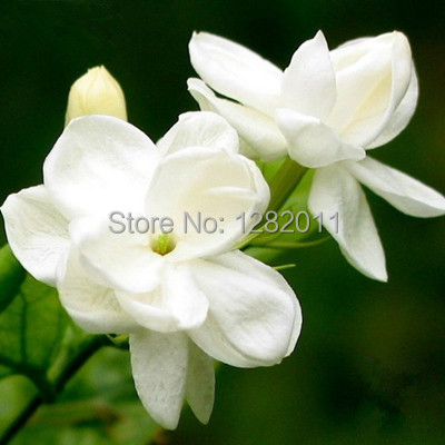 Free shipping four kinds of 40 seed white color purple double color free shipping four kinds of 40 seed white color purple double color jasmine flower seeds 10 grains of each type in bonsai from home garden on mightylinksfo