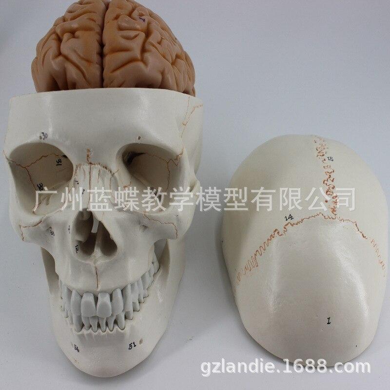 1:1 modèle de cerveau de crâne anatomique humain grandeur nature 8 parties tête de squelette humain étude d'anatomie enseignement fournitures de jouets