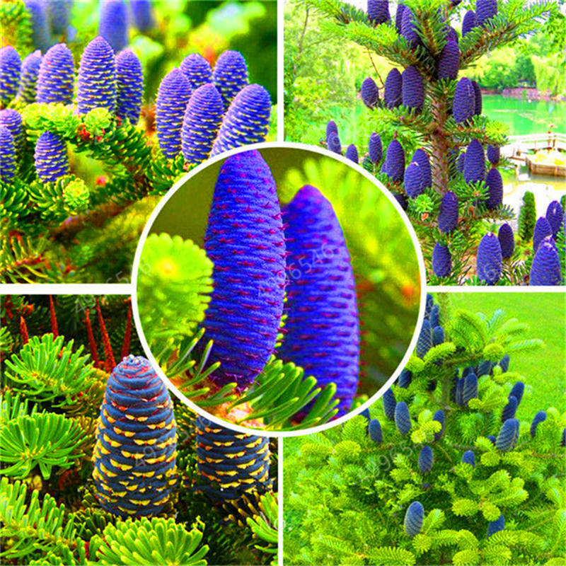 100 Pcs/Bag Korean Fir Abies Nordmann Fir (Christmas Tree, Conifer) Tree Flower House Garden Bonsai Plants Free Shipping