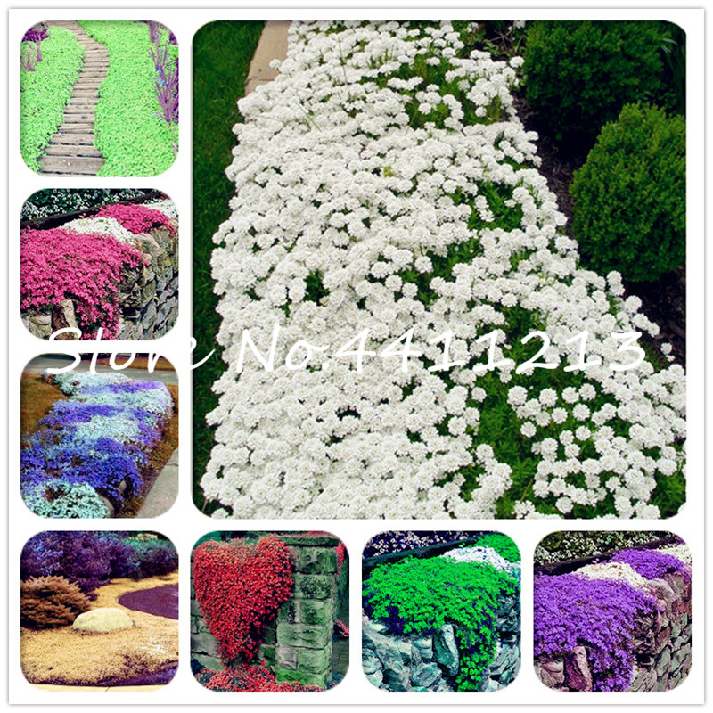 Genuine!100P Creeping Thyme bonsai Flower flores ROCK CRESS GROUND COVER plantas Carpet Evergreen Plant Easy to Grow for Garden