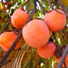 20pcs persimmon seeds