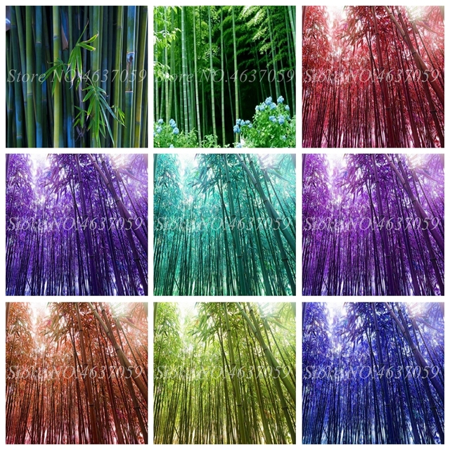30 Pcs New Colorful Bamboo Bonsai, Outdoor Moso Tree Lucky Bambu Plant For Home Garden Decoration Potted Plant Factory Wholesale