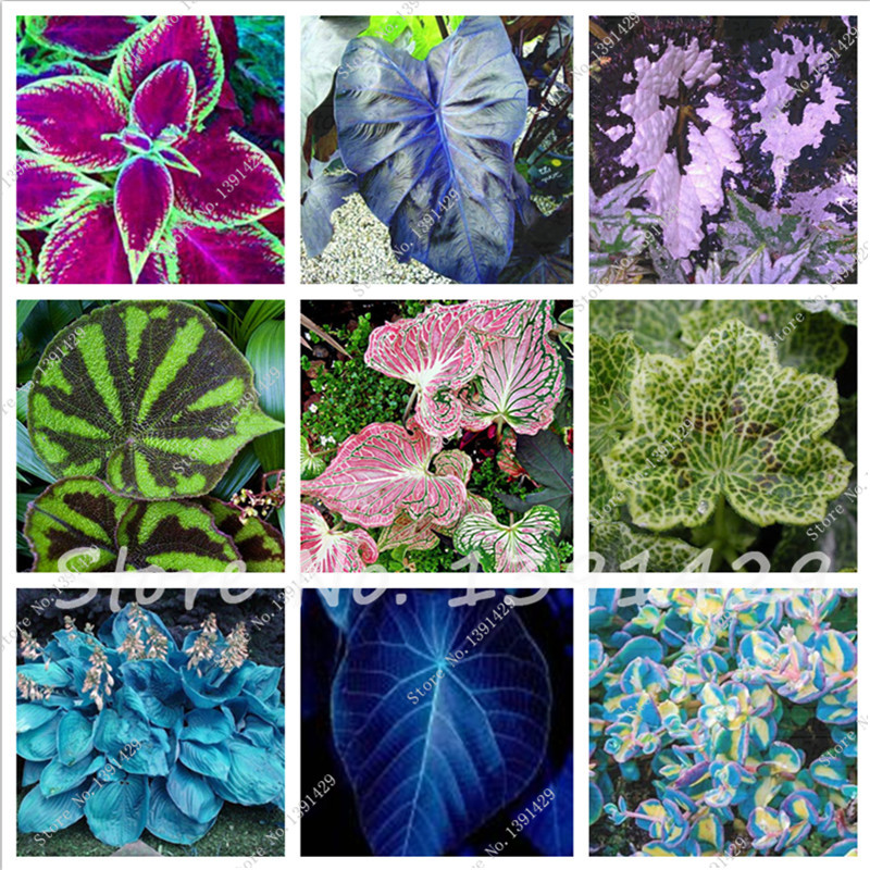 100pcs Mix Coleus Blumei Seeds rare flower seeds Home Garden Colorful bonsai seeds Leaves Plant send gift as 10 rose