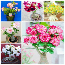 1 Pcs Desert Rose Seeds Potted Flowers Seeds Adenium Obesum Indoor Bonsai Plant Mini Potted Tree For Home Garden Plant