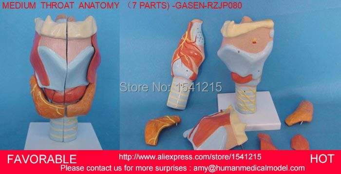 Human throat model,anatomical model Medical Science teaching supplies,HUMAN ORGANS MODEL MEDIUM  LARYNX ANATOMY -GASEN-RZJP080 2 part anatomical healthy human uterus and ovary model female medical anatomy teaching supplies