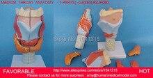 Human throat model,anatomical model Medical Science teaching supplies,HUMAN ORGANS MODEL MEDIUM  LARYNX ANATOMY -GASEN-RZJP080