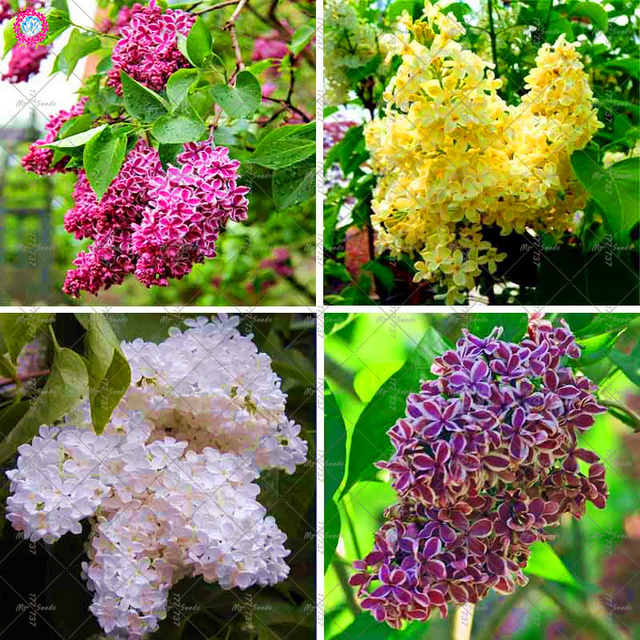 100pcs Purple Japanese Lilac Plant Extremely Fragrant Clove Flower For Home Garden Perennial