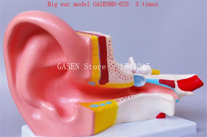 Human ear anatomical model Inner ear structure auditory system Principles of listening Teaching model Big ear model GASENHN-025 апплика аппликация краб из самоклеящегося мягкого пластика