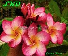 7 to15inch Rooted Plumeria Plant Thailand Rare Real Frangipani Plants no244 rimfire