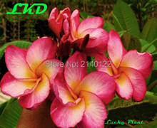 7 to15inch Rooted Plumeria Plant Thailand Rare Real Frangipani Plants no244-rimfire