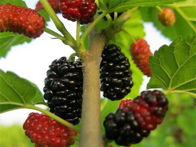free ship seeds mulb erry bags mulberry fruit seeds diy home, Beautiful flower