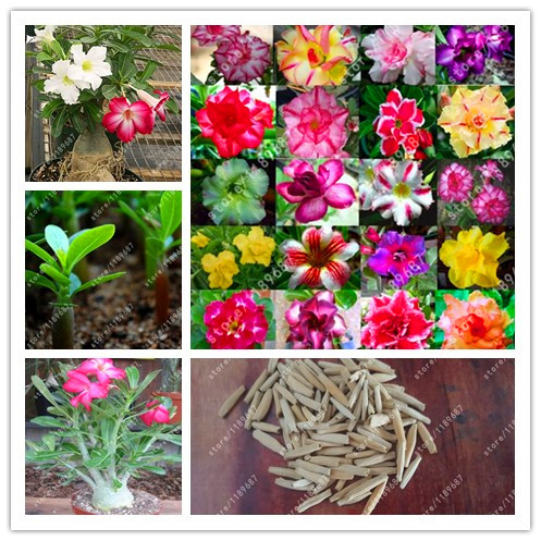 3PCS real desert rose seeds Flower pots planters Adenium obesum seeds mixed colors send ...