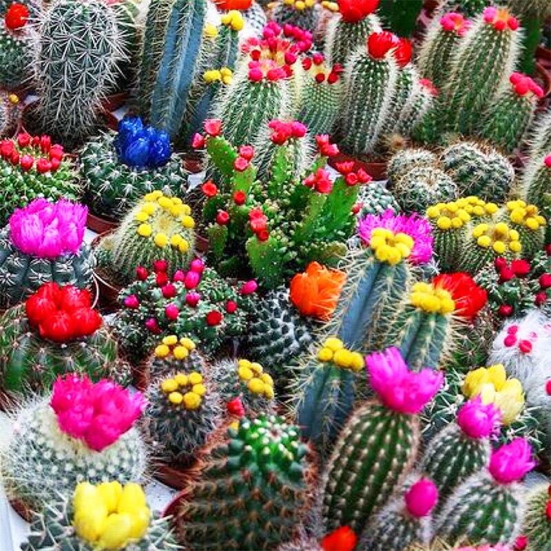 Variedades de cactus de alta calidad compra lotes for Variedades de cactus