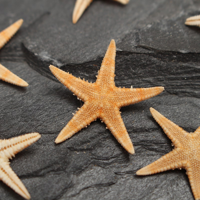 gerçek deniz yıldızı hayvanı ile ilgili görsel sonucu