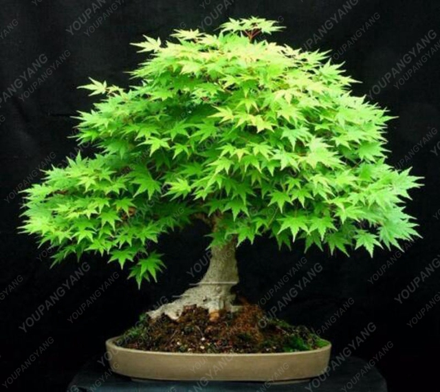 20 bonsai/Pack 100% Real Japanese Ghost Blue Maple Tree Bonsai bonsai Acer palmatum atropurpureum, Bonsai SOW ALL YEAR