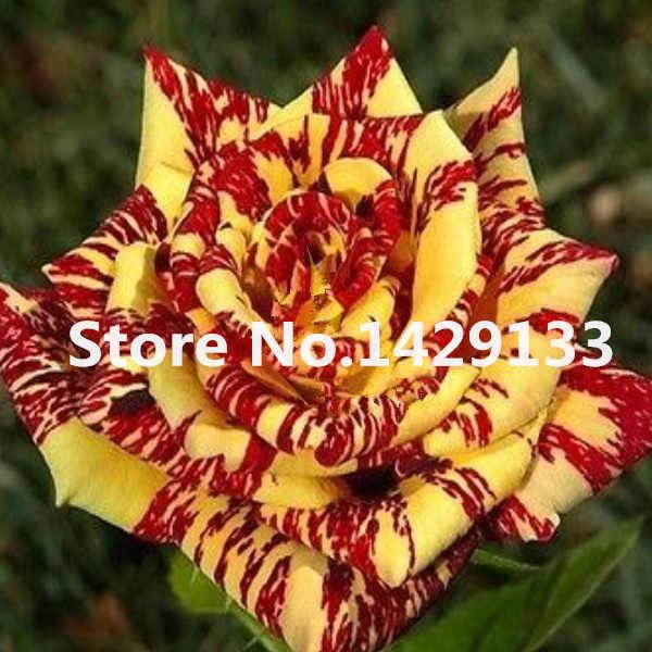 Şerit Çalı Gül Çiçek bitkiler 50 ADET Nadir Bush Gül Çiçek bitkiler Sarı Kırmızı Pembe Mor Bahçe Bonsai Egzotik Bitki ücretsiz kargo