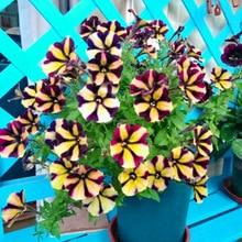 100 pcs/bag double petals petunia seeds hanging bonsai flower seeds Short height original garden indoor or ourdoor plant pot
