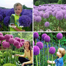 11.11mix colors 100 pcs Giant Allium Giganteum seeds purple Allium organic gorgeous flower for garden decoration gift for kid