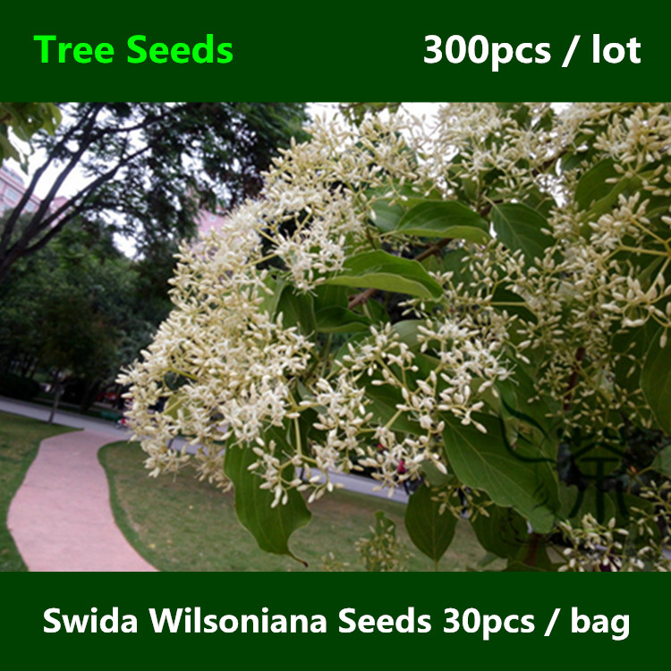 ^^Unique China Swida Wilsoniana ^^^^ 300pcs, Family Cornaceae Cornus Wilsoniana Tree ^^^^, Deciduous Tree Guang Pi Lai Mu ^^^^