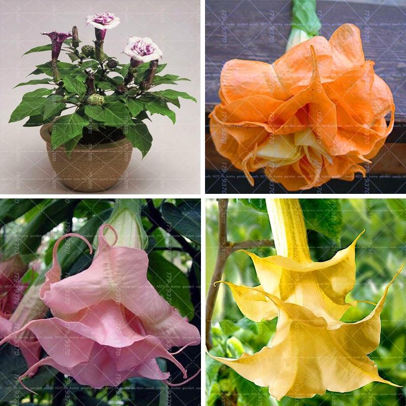 100pcs Bonsai Flower Brugmansia Datura Flower Perennial Flowers Potted Plants For Garden Medicinal And Ornamental Value