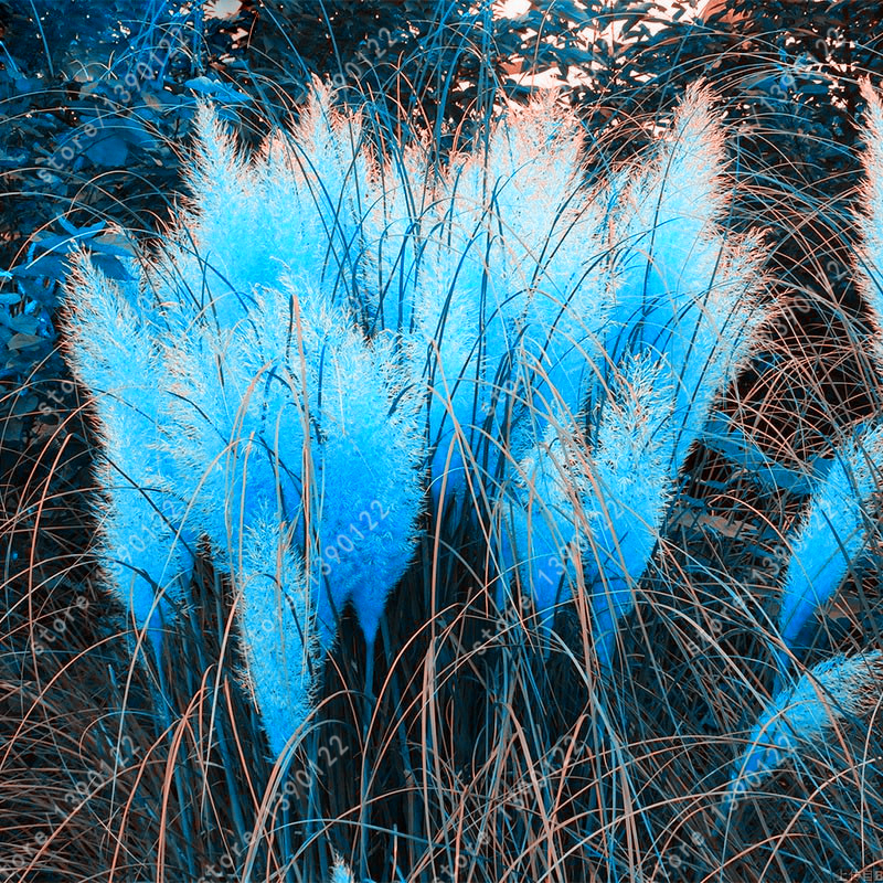 400 pcs bag pampas grass ornamental plant flowers for Ornamental grass with blue flowers