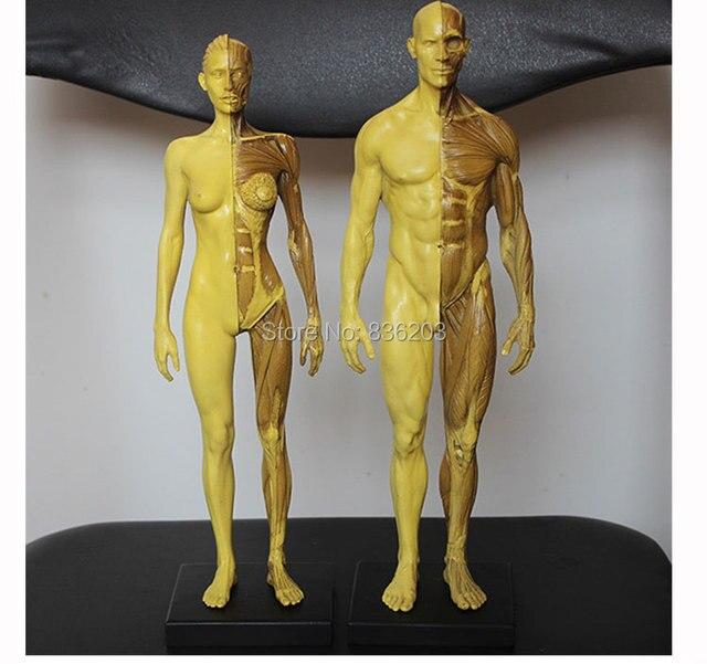 30 cm l Menschlichen anatomie männlich weibliche Flesh Anatomie ...
