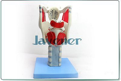 Magnify Human Anatomical Throat Anatomy Medical Model Vocal Music Teaching human female pelvic section anatomical model medical anatomy on the base