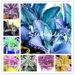 Акция! Шт. 100 шт. карликовые деревья синий долголетия цветок Флорес каланхоэ Роман растения для Diy домашний сад четыре сезона цветущих