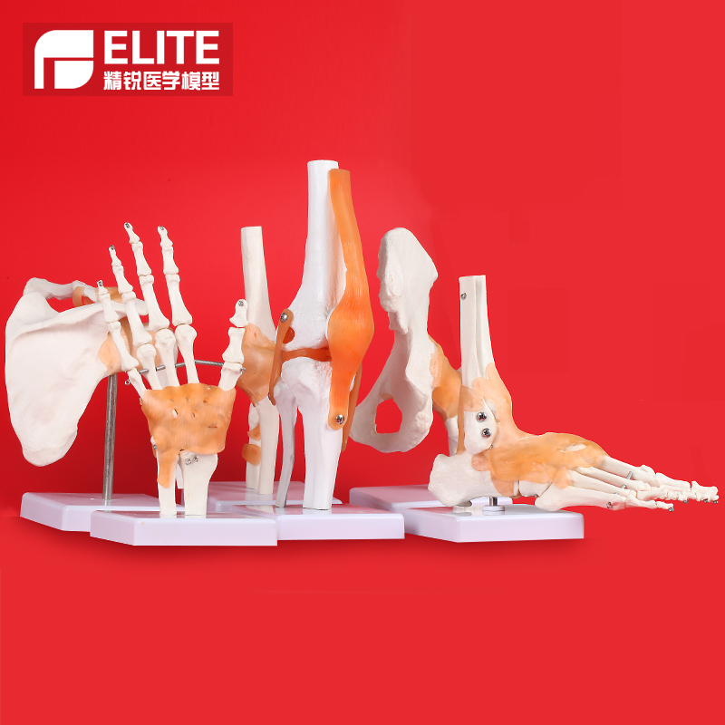 Human knee model joint skeleton model teaching medical model hand foot joint model
