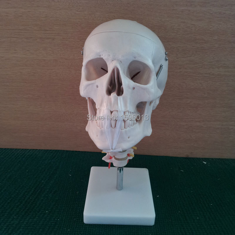 HOT Skull Model with Cervical Spine and neck artery, Anatomical Skull model rajat sareen shiv kumar sareen and ruchika jaswal non carious cervical lesions