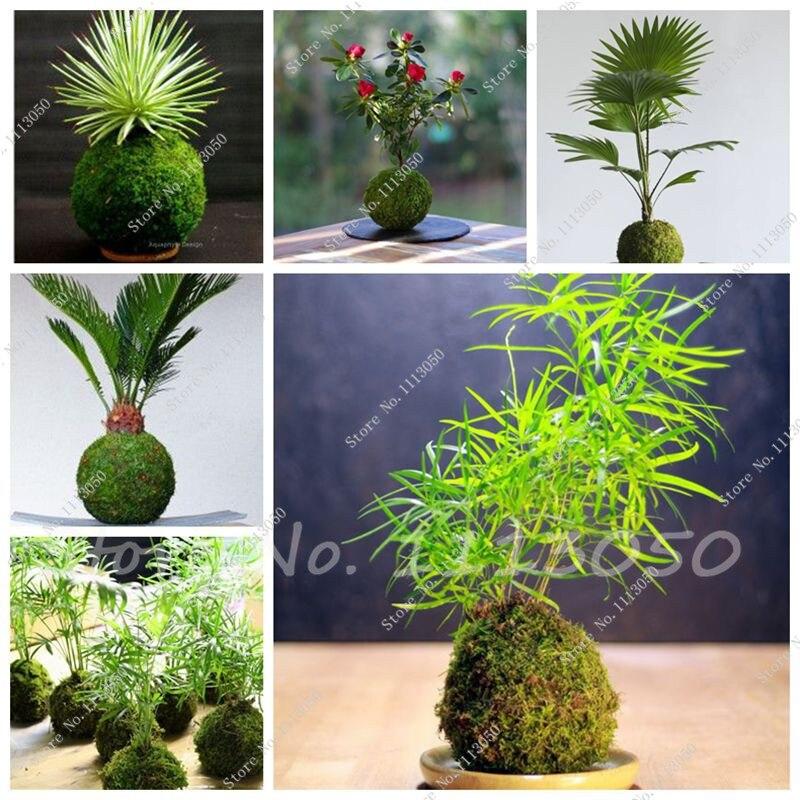 200 Pcs Sphagnum Moss Bonsai Moss Seeds Lovely Moss Ball Decorative Grass Seeds Home Garden Ornamental-Plant Potted Flower Seed