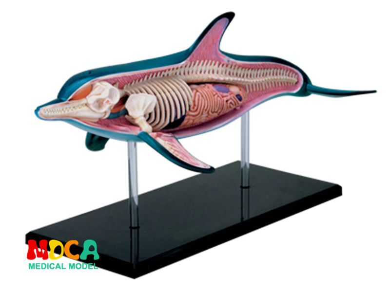 Dolphin 4d master puzzle Assembling toy Animal Biology organ anatomical model medical teaching model dog 4d master puzzle assembling toy animal biology organ anatomical model medical teaching model