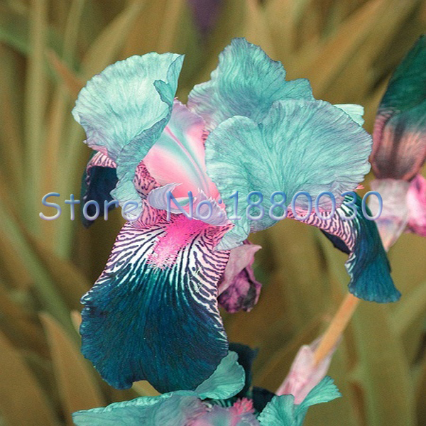 50PCS delicate blue flowers colorful Japanese Iris Seeds & DIY home garden easy to survive