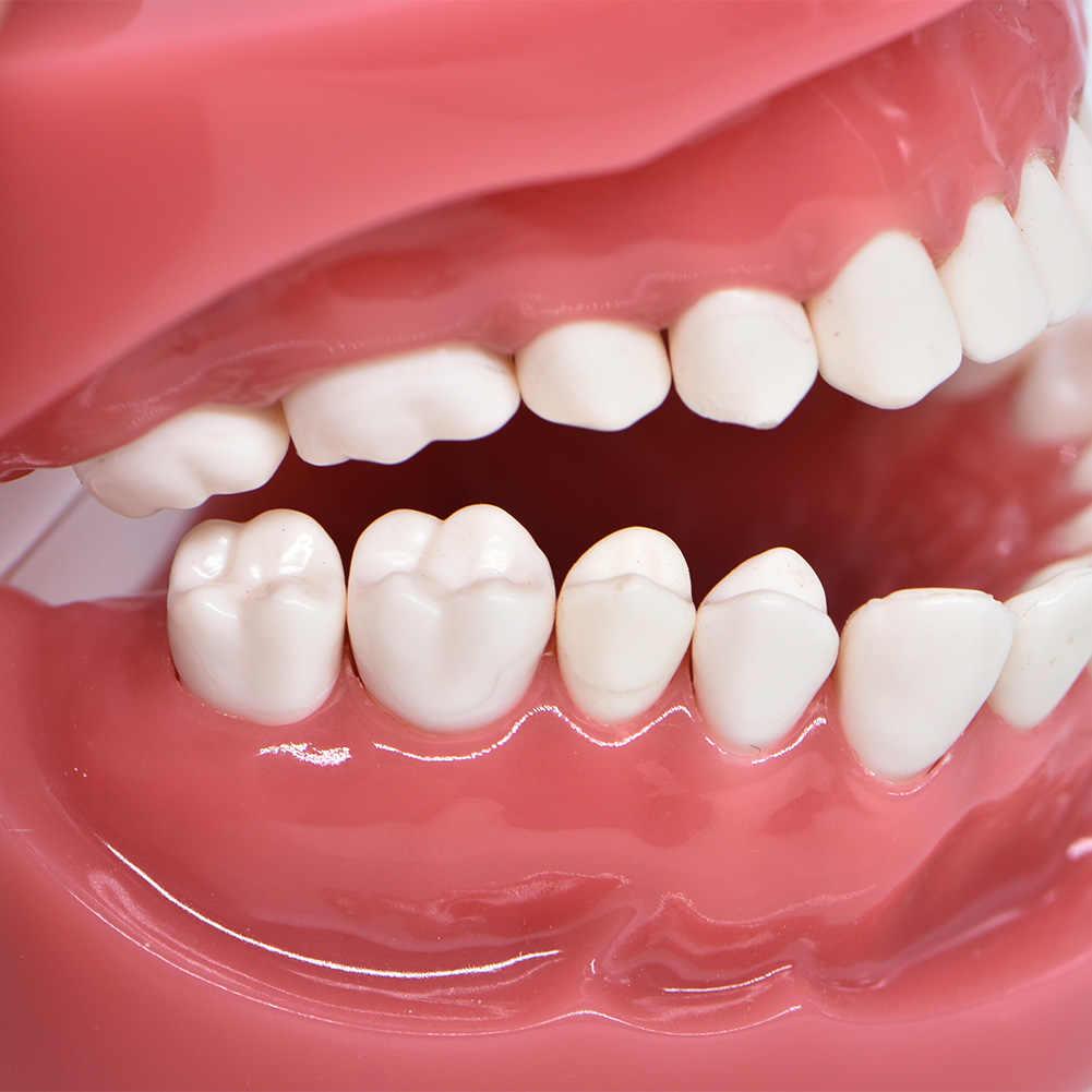 Model dentystyczny twardy fundament model nauczania Dental dorosły Standard Typodont demonstracja laboratorium dentystyczne instrument stomatologia