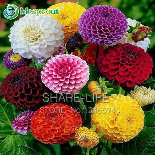 Zinnia Elegans Seeds True Beautiful Fireball Flower Seeds Red Yellow Purple Multicolor Chrysanthemum Seeds - 100 pcs