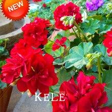 Time-Limit!!20 Seed/Pack Red Univalve Geranium Seeds Perennial Flower Seeds Pelargonium Peltatum Seeds for Indoor Rooms,#22QULL