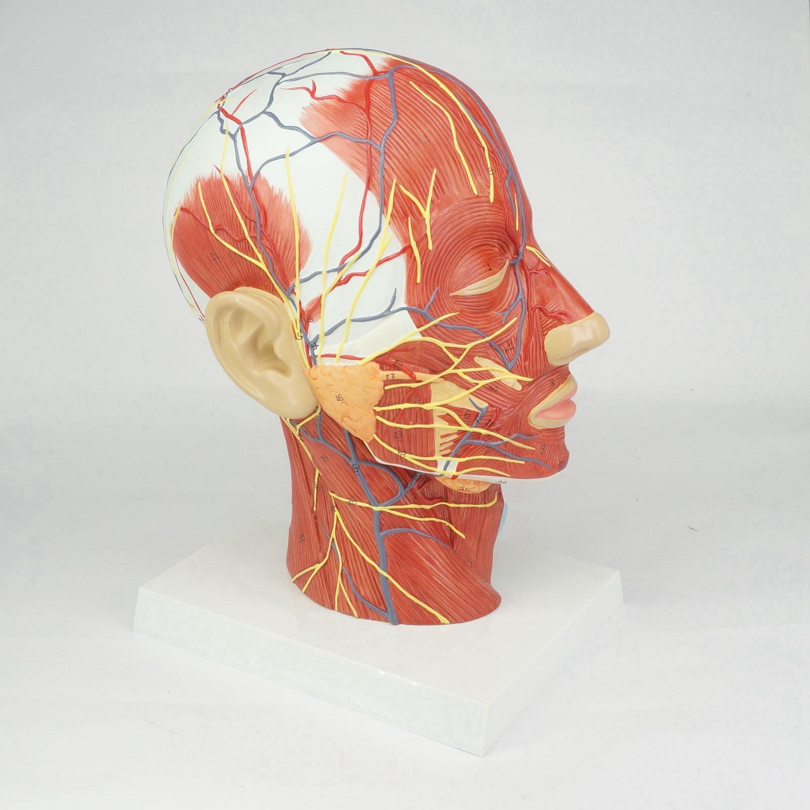 Median Section of Human Head & Neck Anatomical Model Medical Skeleton Anatomy Natural Life Size human female pelvic section anatomical model medical anatomy on the base