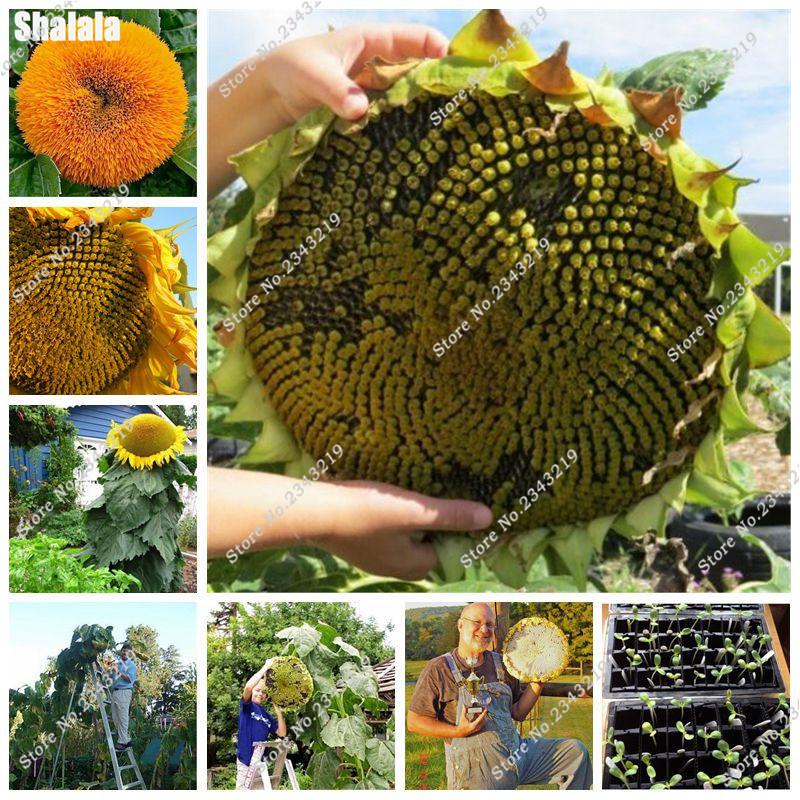 la plantation de tournesol graines-achetez des lots à petit prix