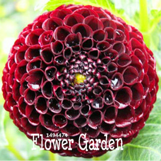 Marvelous Online Buy Wholesale Black Tea Seeds From China Black Tea Seeds  With Remarkable Promotionrare Black With Red Dahlia Seeds Beautiful Perennial Flowers  Seeds Dahlia For Diy Home With Breathtaking Garden Window Boxes Also Garden Trading In Addition Small Private Garden Ideas And Kew Botanical Garden As Well As Lr Sales Montague Gardens Additionally X Garden Shed From Aliexpresscom With   Remarkable Online Buy Wholesale Black Tea Seeds From China Black Tea Seeds  With Breathtaking Promotionrare Black With Red Dahlia Seeds Beautiful Perennial Flowers  Seeds Dahlia For Diy Home And Marvelous Garden Window Boxes Also Garden Trading In Addition Small Private Garden Ideas From Aliexpresscom