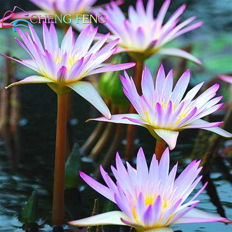 Flower seeds for sale picture more detailed picture for Lotus plant for sale