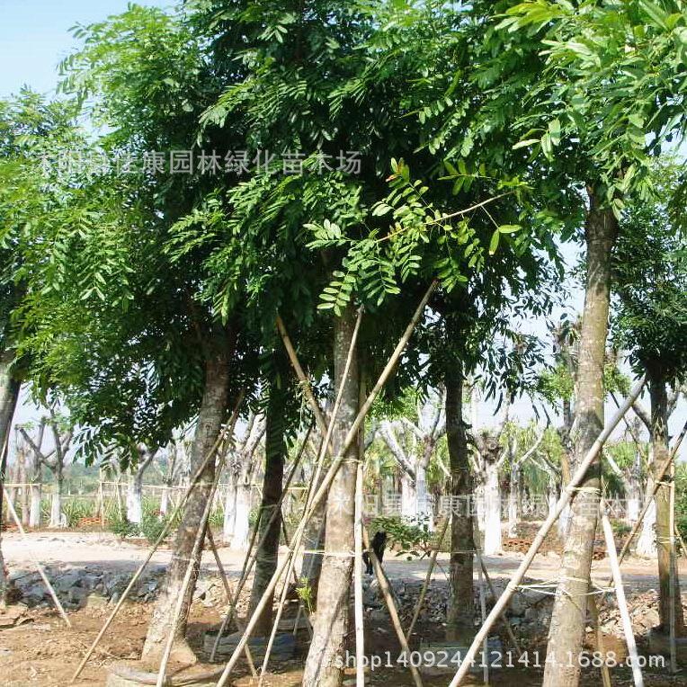 Authentique acajou arbre bonsaï collecté bonsaï de palmier acajou couleur bois plante Nanyang noyau bois 200 g/paquet