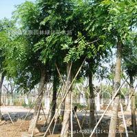 authentic mahogany tree bonsai collected bonsai of palm plant mahogany color wood plant Nanyang core wood 200g / Pack
