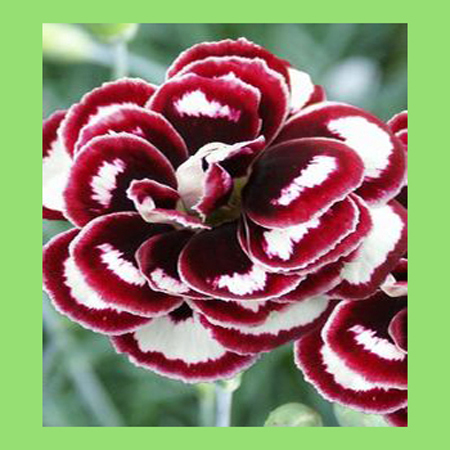 Dianthus flowers seeds dark red mixed white color japanese plants dianthus flowers seeds dark red mixed white color japanese plants diy home garden bonsai pot perennial plants 120pcs in bonsai from home garden on mightylinksfo