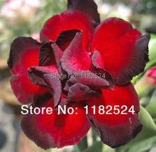 20 семена — свежий редкие » роза » Adenium Obesum семена — бонсай семена